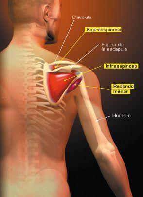 rotadores musculos